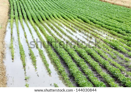 Natural disaster, flooded soy field  in spring - stock photo