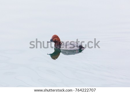 natural eurasian male pochard duck (aythya ferina) swimming mirorred water surface