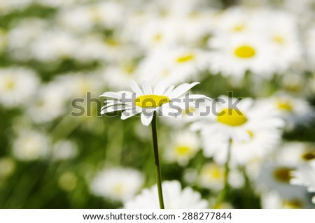 Natural floral blur  background, decorative big white camomiles, local soft focus, shallow DOF. - stock photo