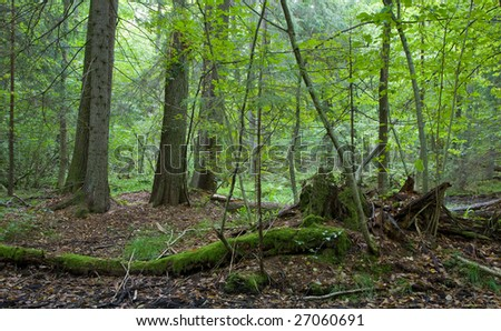 Natural forest nature reserve, wet mixed forest with old alder trees in background and almost decomposed tree lying in foreground covered by moss - stock photo
