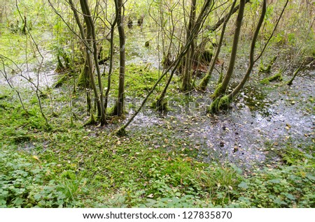 natural forest swamp and mossy trees grow in livery viscous slimy swampy water. - stock photo