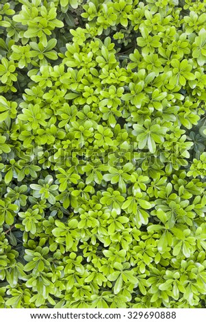 Natural fresh green leaf texture for background - stock photo