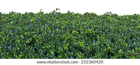 Natural green hedge isolated on white - stock photo