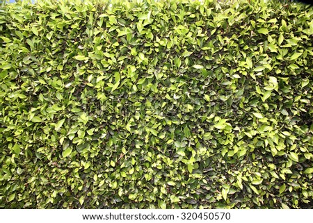 Natural Green Leaf Hedge Seamless Wall. The perfect green hedge wall for wallpapers, computer backgrounds, and more. Hedges are loved by humans and animals around the world and are always organic. - stock photo