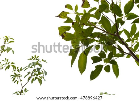 Natural Green leaf in the white background