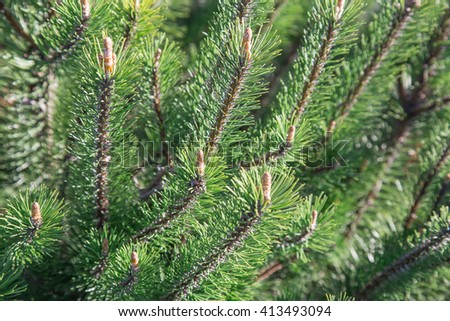 Natural green spruce background