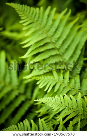 Natural green young ostrich fern or shuttlecock fern leaves (Matteuccia struthiopteris) on each other - stock photo