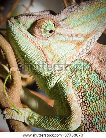 natural life, chameleon on the tree - stock photo