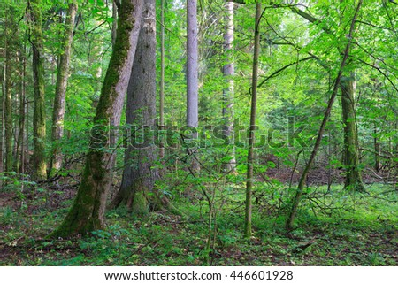 Natural mixed stands of Bialowieza Forest with some old trees,Bialowieza Forest,Poland,Europe