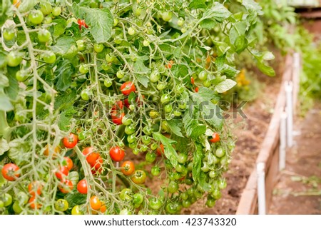 Natural organic tomatoes growing in the vegetable garden. Bunch of Ripe Red and unripe Green  tomatoes. Fresh vegetables in a sunny day. Selective focus. - stock photo