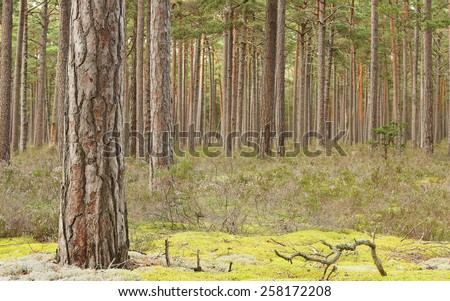Natural pine forest, important habitat for many rare insects - stock photo