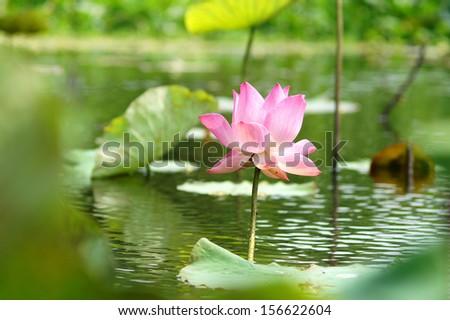 Natural pink lotus - stock photo