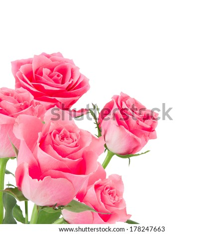 Natural pink roses background, close-up.