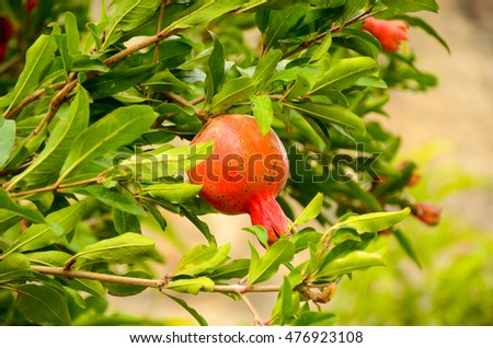 natural pomegranate tree with the fruit