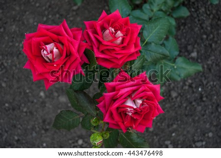Natural red roses background / Red rose / Pink and white roses background / Red roses close up / field of pink roses / Background of bouquet of pink blooming rose bush - stock photo
