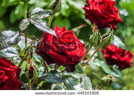Bright red rose bush stock photos royalty free images for Natural rose colors