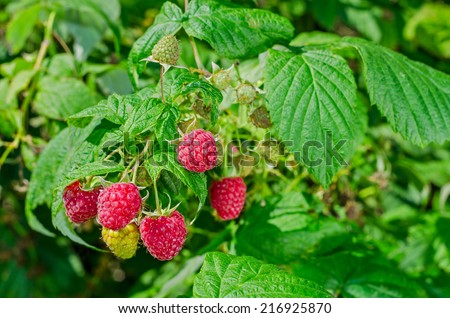 Natural ripe raspberries bush with leaf growing in the garden - stock photo