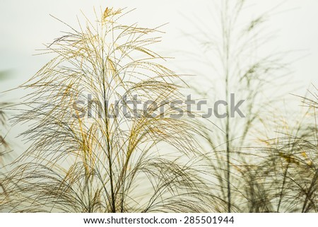 natural scenes  flower of a green grass under blue sky - stock photo