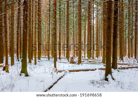 natural shot-thick spruce winter - stock photo