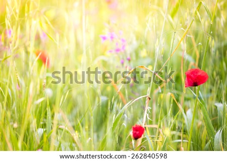 Natural spring background, flowers and green grass, bokeh focus, poppies. - stock photo