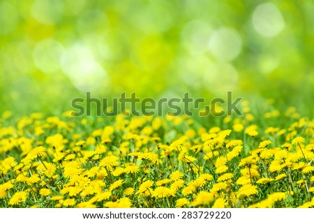 Natural spring background with blooming dandelions - stock photo