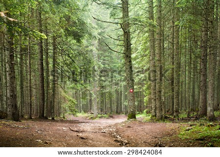 Natural Spruce Tree Forest