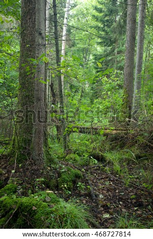 Natural stand of Bialowieza forest Landscape reserve with alder tree moss wrapped and broken trees lying, Bialowieza forest, Poland, Europe