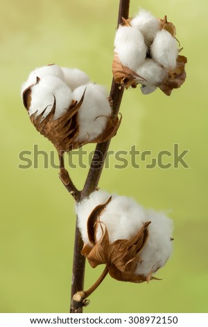 Natural stem of cotton flowers producing raw cotton for textile industry - stock photo