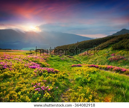 Natural summer scene in Carpathian mountains. Fresh grass and rhododendron flowers glowing last sunlight in evening. Ukraine, Europe. - stock photo