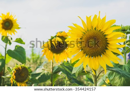 Natural Sunflowers field in northern Thailand