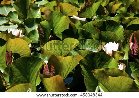 Natural texture, leaves of Waterlily plant