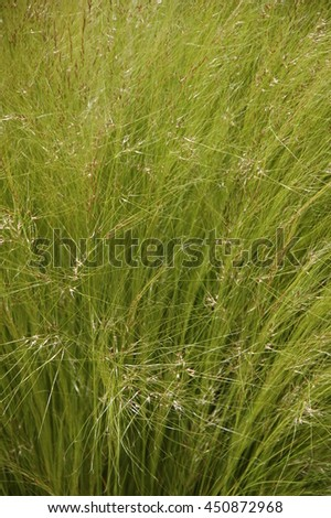 Natural texture of wild grasses in summer, feather seed  - stock photo