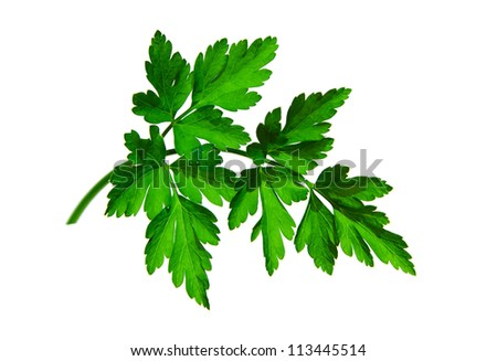 Natural twig of parsley on  white surface.