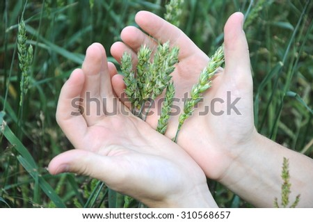 Natural wheat green sprouts in the palms