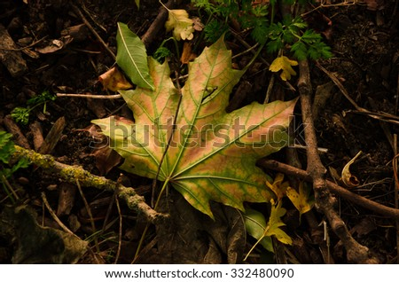 Natural woodland palette - Close up of fallen maple tree leaves on ground. There is a complete Autumn palette of colors, greens, yellows and browns, in this composition of natural decay. - stock photo