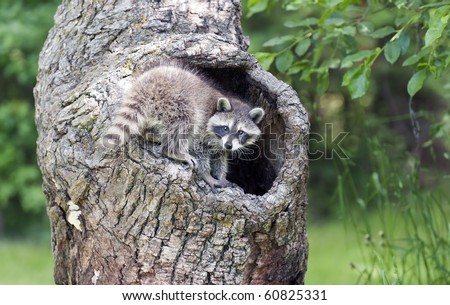 Naturally inquisitive, a young raccoon (Procyon lotor) explores a hollow log in the forest. - stock photo