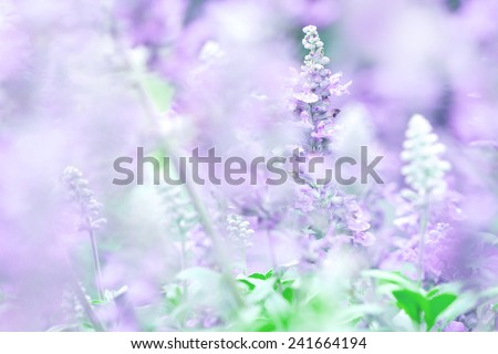 nature abstract background from close up Sage plant (lat. Salvia Officinalis)