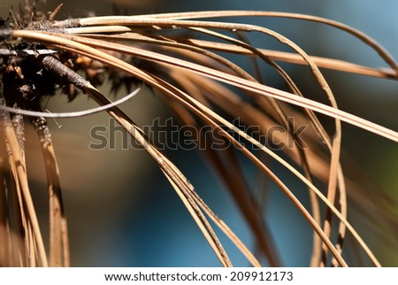 Nature Abstract - Dried Pine Needles