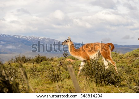 Nature and guanaco in Patagonia, Chile (Torres del Paine)