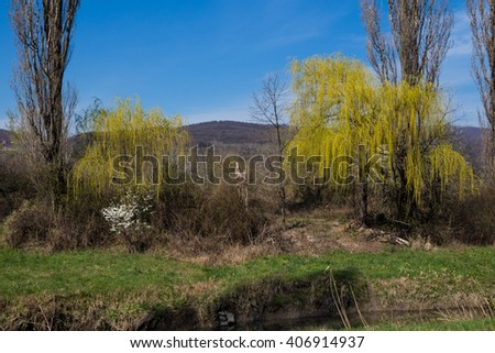Nature and willow trees in the spring Willow trees with a new spring bright green leaves on the banks of a small river. Karpaty mountains in the background. Blue sky. Sur in Slovakia.