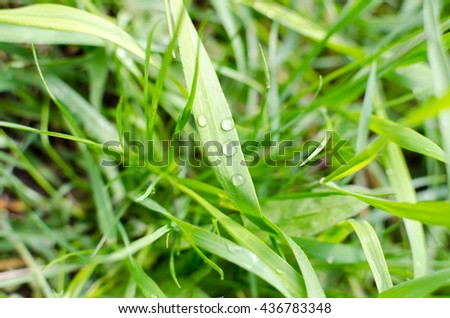 Nature background. Dew on the lush green grass