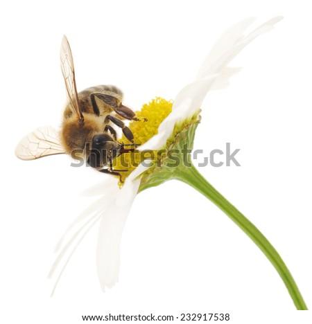 Nature background. Honeybee and white cherry flowers. - stock photo