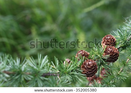 nature background, larch cones, with place for your text - stock photo