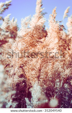 Nature background, Reed against the sunset close-up - stock photo