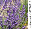 nature background with blooming lavender flowers. selective focus - stock photo