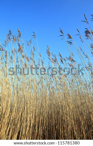 nature background with tall reed - stock photo