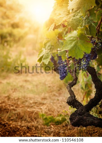 Nature background with Vineyard in autumn harvest. Ripe grapes in fall. - stock photo