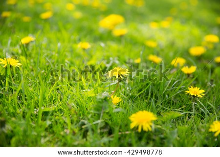 nature, botany and flora concept - beautiful dandelion flowers blooming on summer field - stock photo