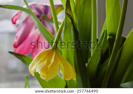 Nature. Broken wilted flowers tulips. Vertical close-up. Without the use of filters. - stock photo