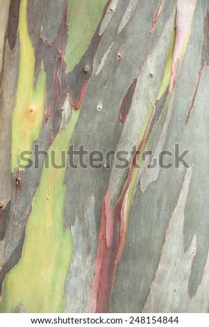 Nature design eucalyptus bark - stock photo